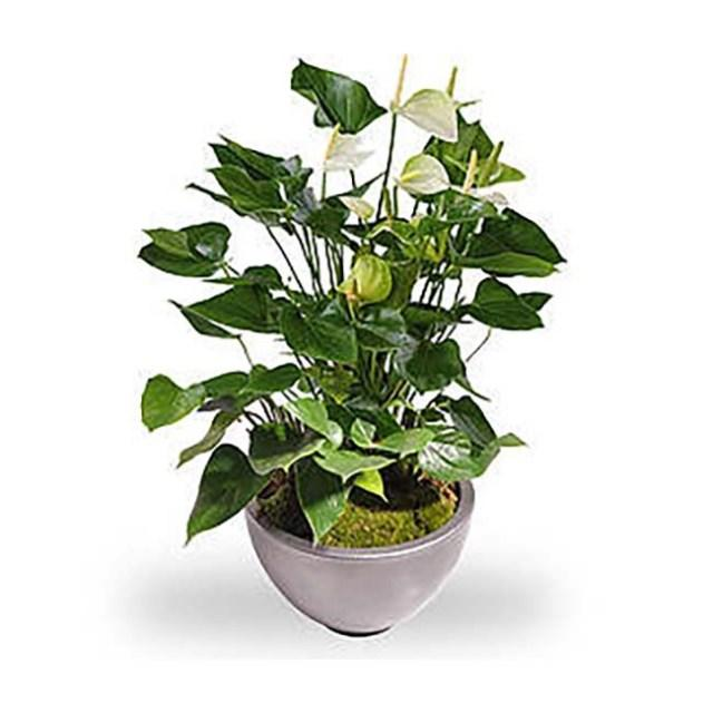 Anthurium wit met pot